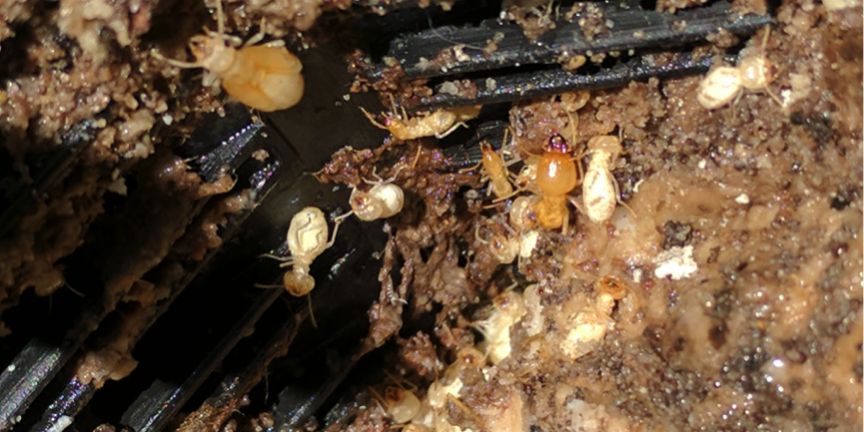 Termites And White Ants What Is The Difference Complete Termite Solutions